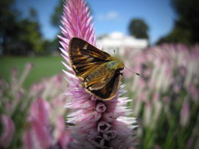 Coyle_moth1